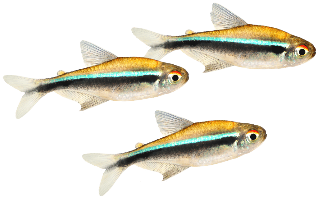 Three small fish with a bright teal stripe swimming to the right