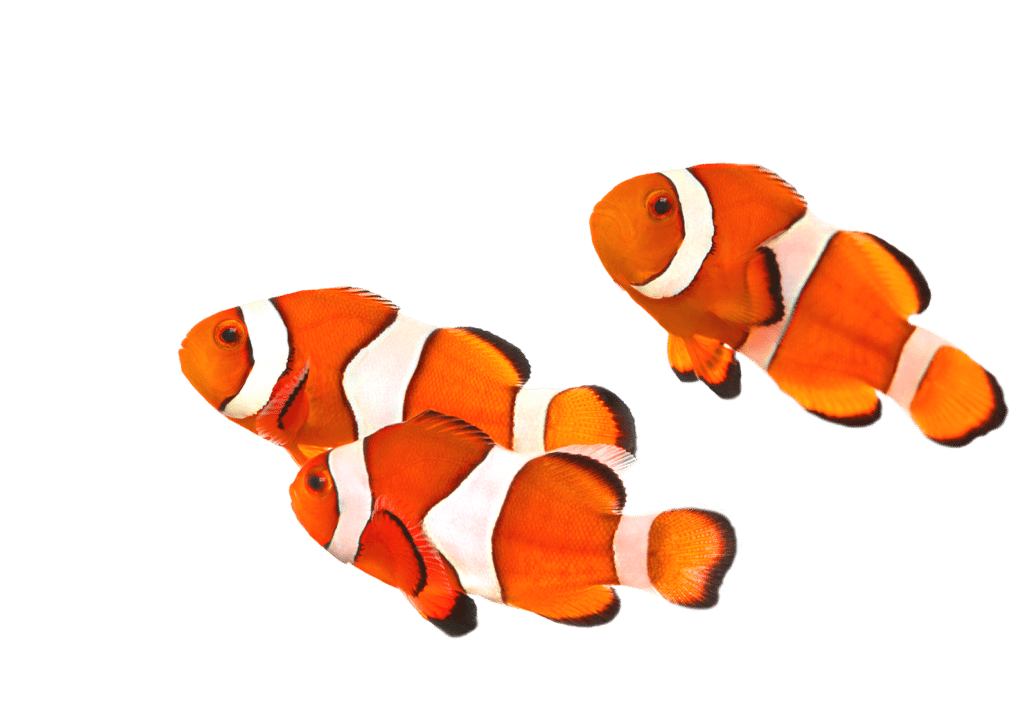 Three clownfish swimming to the left