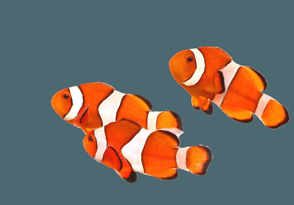 Three clownfish swimming to the left