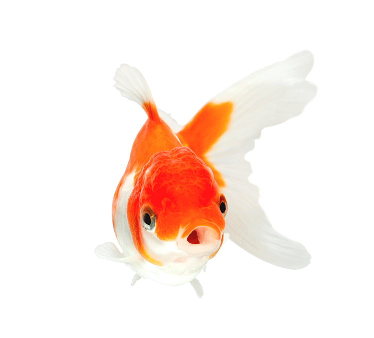 Orange and white goldfish with mouth open swimming toward viewer
